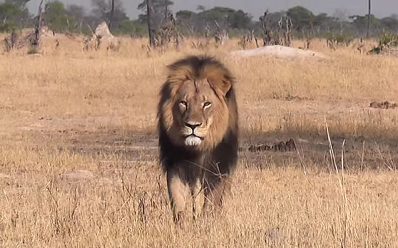 Cecil_the_lion_